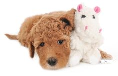Zanie's Toys available from www.SmagDog.com . Beautiful red English Teddy Bear Goldendoodles available from Smeraglia's Teddy Bear Goldendoodles  www.TeddyBearGoldenDoodles.com