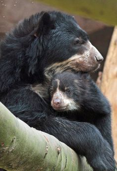 spectacled or andean short-faced bears   animal + wildlife photography