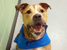*NEW PHOTO*  TO BE DESTROYED RIGHT NOW! 2/4/14! SO FAR NO TAKERS! PLEASE KEEP SHARING! My name is LIGHT. My Animal ID # is A0990745. I am a neutered male brown and white pit bull mix. The shelter thinks I am about 7 YEARS old.OWNER SURR.  https://www.facebook.com/photo.php?fbid=752310388115176&set=a.611290788883804.1073741851.152876678058553&type=1&theater