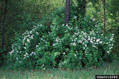 Multiflora rose - US invasive