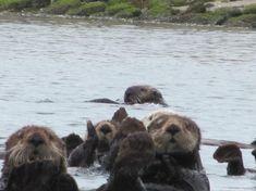 Moss Landing Sea Otters, Monterey Bay