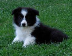 Border Collie Puppies, Collie Dog, Border Collies, Cute Baby Dogs, Cute Puppies, Cute Babies, Nature Dog, Dog Pictures, Puppy Love