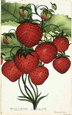 dmdeweystrawberryimage