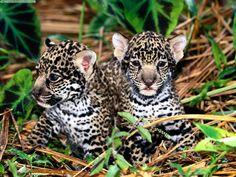wild cats | Wild Cat