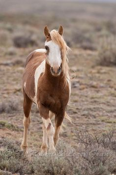 cavalo selvagem ou mustang por MyohoDane