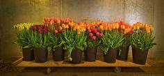 50MileBouquet_Tulips1.jpg (890×414)
