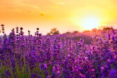 Čarovné bylinky pro bohatství z lidové magie. Lavender Fields, Lavender Flowers, Flower Photos, Birds In Flight, Hungary, Photo Library, Spring Time, Countryside, Reiki