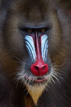 Alpha Male Mandrill Portrait, South Eastern Gabon's Rainforest. Fierce-looking.  See more Mandrills photo on http://facebook.com/giovanni.mari.photography