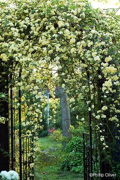 Yellow Lady Banks Rose. Easy, thornless, spring flowering. Needs support. Evergreen. Comes in white, also. Gets huge, but responds well to hard pruning. Largest rose in America is this type.
