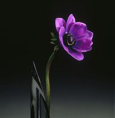 Let's go for one of Robert Mapplethorpe's less 'obvious' images - 'Anemone, 1989'
