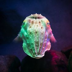 Cuttlefish showing all the crazy colours it can change to (by Peter Hellberg)