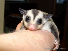 Everybody loves Romano!  This cute little classic colored glider is available for 199, which makes him a great introduction for anyone looking to own sugar gliders.  (As a note, gliders should at least live in groups of two or more, as they are very social creatures.)