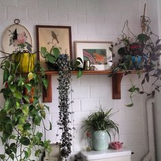 A lovely family friend recently descibed one of her plants as being 'prolific' i think this is so apt.. #prolificplants #prideinplants #passionateaboutplants #plants #bathroomplants #thesecretlife #theprivatelife #ofplants #vert #green #littleforest #littlebalconylife #1O3O
