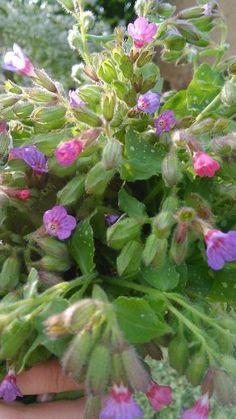 plicník Korn, Medicinal Plants, Garden, Scrappy Quilts, Garten, Lawn And Garden, Gardens, Healing Herbs, Gardening