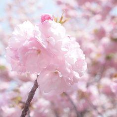 mari-sakura