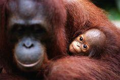 An orangutan with a baby in Borneo, Malaysia.