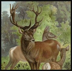 Another gorgeous chromolithograph print from Brehm's Tierleben. Featuring European Red Deer.