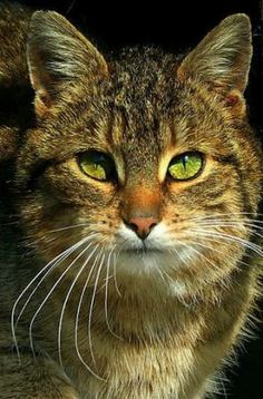 Tabby Cat {}  NO, I'M NOT GREEN EYED MONSTER, AND NO I'M NOT GREEN WITH ENVY...I JUST HAPPEN TO HAVE BEAUTIFUL GREEN EYES.