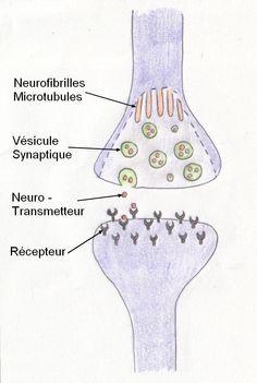 schema-synapse-legende.jpg