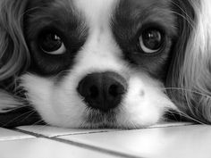 Cavalier King Charles Spanial....Chloe by Rachel. Check her out on flickr.