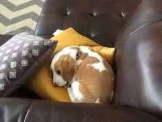 Precious lemon beagle...