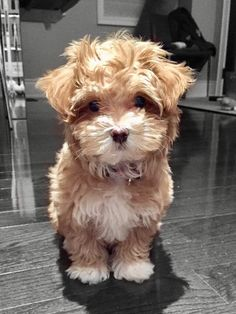 Havapoo /Poovanese P Cute Dogs Breeds, Cute Dogs And Puppies, Dog Breeds, Doggies, Poodle Mix Breeds, Havapoo Puppies, Cockapoo Puppies, Maltipoo, Goldendoodles