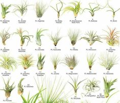 Air plants species to look up. Air plants species to look up. Types Of Air Plants, Air Plants Care, Types Of Succulents, Cacti And Succulents, Plant Care, Outdoor Plants, Garden Plants, Plants Indoor, Air Plant Display