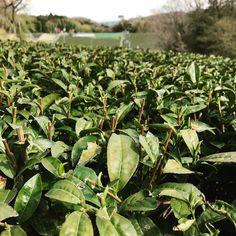 Easter in the tea gardens. New buds ready to sprout.  #easter #tea #teagarden #nara #outdoor #relaxation #farming #greentea #japan