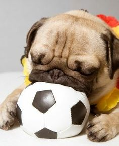 Cute pug dog playing with a miniature soccer ball. ♥