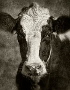 TheWindyLilac.com-Sharing All Things Home-FARMHOUSE DECOR-Holstein all the way. Black and white Cow Portrait. Great Decorating Idea for Farmhouse, Country, Fixer Upper and Rustic Decor! (portrait has a Vintage Feel)