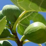 Kedy strihať figovník Pesto, Flora, Mango, Gardening, Fruit, Manga, Lawn And Garden, Plants, Horticulture