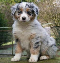 Race de chien : Berger australien