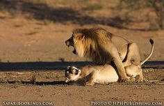 Lions mating (South Africa side) (Kgalagadi Transfrontier Park, South ...