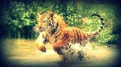 #tiger #jungle #running #InThe Water