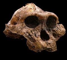 Cranium of Paranthropus boisei