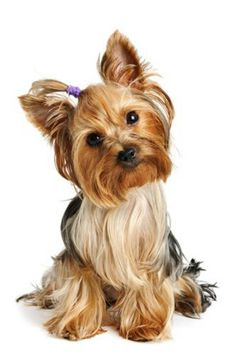 Yorkshire Terrier puppies for sale! These lovable Yorkie puppies are a low-shedding and courageous toy breed with a loyal and spunky personality. Yorkies, Yorkie Puppy, Cute Puppies, Cute Dogs, Dogs And Puppies, Perros Yorkshire Toy, Yorshire Terrier, Yorkshire Terrier Puppies, Little Dogs