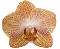 Phalaenopsis ´Ravello´