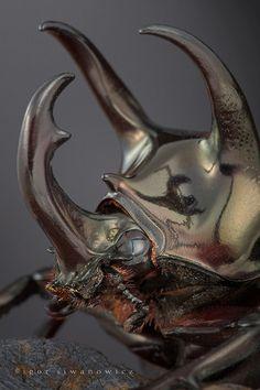 Chalcosoma atlas beetle, Igor Siwanowicz
