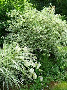 """Cornus Elegantissima, Hosta albomarginata ou Miscanthus chinensis,  associés à l'Hydrangea """"Annabelle"""""""