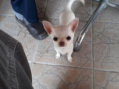 Fee von Blue Ice Chihuahua, French Bulldog, Corgi, Ice, Animals, Corgis, Animales, Animaux, French Bulldog Shedding