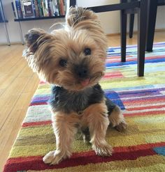 My best buddy turned 11 years old today! Miniature Puppies, Mini Puppies, Puppies Puppies, Cute Puppies, Yorkie Puppies For Adoption, Yorkie Puppy, Teacup Yorkie, Teacup Puppies, Terrier Breeds