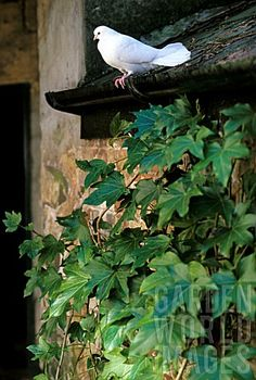 the ivy.the white dove From: Garden World Images, please visit Evergreen Climbers, Woodlands Cottage, Hera, Storybook Homes, Birds And The Bees, Ivy House, World Images, White Doves, White Gardens