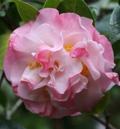 Camellia japonica 'Dawn's Early Light' (U.S., 1980)