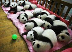 sweet baby pandas