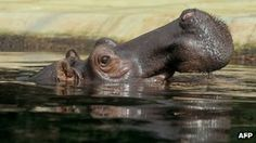 Cape Town residents warned about stray hippo calf (BBC)