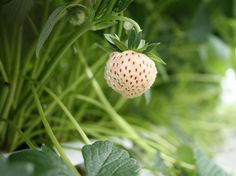 The pineberry first appeared in the 1750s in Europe, as a cross between an American wild strawberry and a Chilean strawberry.