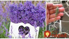Purple flowers are a great way to add interest to your yard or landscape. See some of our favorite purple garden flowers! Lavender Cottage, Lavender Blue, Lavender Fields, Lavender Flowers, Beautiful Flowers, Types Of Purple Flowers, Purple Love, All Things Purple, Garden Express