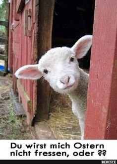 Jesus is coming! His sheep know His voice! We will answer His call! Cute Baby Animals, Farm Animals, Animals And Pets, Image Facebook, Funny Facebook, Funny Photos, Cute Pictures, Spring Pictures, Baby Animal Videos