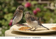 Pair of curious Eastern Bluebird fledglings visits the meal worm feeder in the rose garden. - stock photo