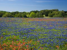 Blue Bonnets and Indian Paintbrush with Oak Trees in Distance, Near Independence, Texas, USA Photographic Print by Darrell Gulin at Art.com
